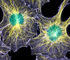 Калий отвечает за стабильность стенок клеток