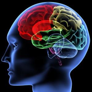 Мозолистое тело объединяет полушария головного мозга