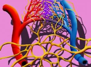 Лимфа способна убивать микробов