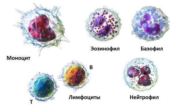 Лейкоциты включают в себя ряд составляющих