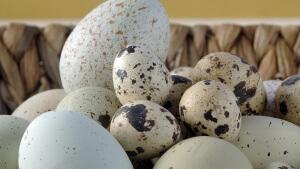 Решение о приеме сырых перепелиных яиц каждый человек принимает самостоятельно