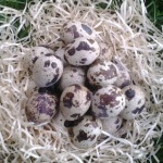 Можно ли пить сырые перепелиные яйца и чем они полезны