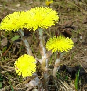 Мать-и-мачеха цветет с апреля по май