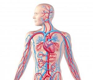 Система кровоснабжения имеет огромную протяженность