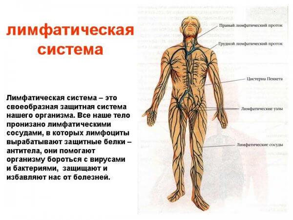 Лимфатическая система: строение