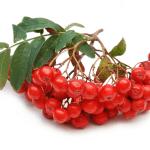 Рябина красная: лечебные свойства и особенности приема